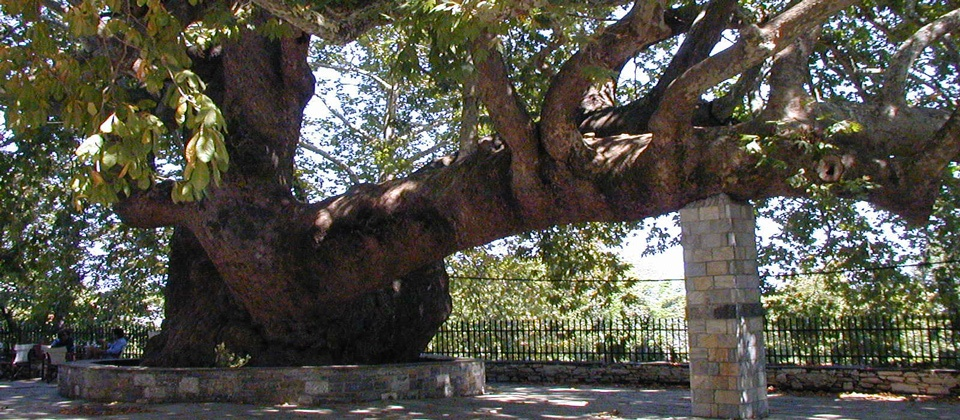 1,000 years old plane tree